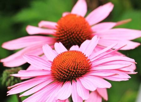 Echinacea  το φυτικό αντιμικροβιακό